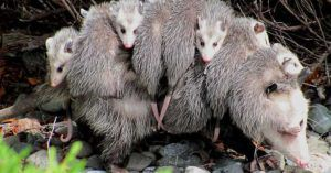 opossum carries babies back