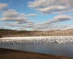 snow geese flying together
